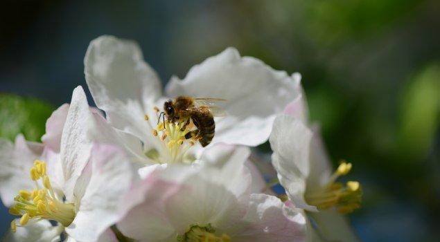 Biene auf Apfelblüte © Tourismusinformation Seeg